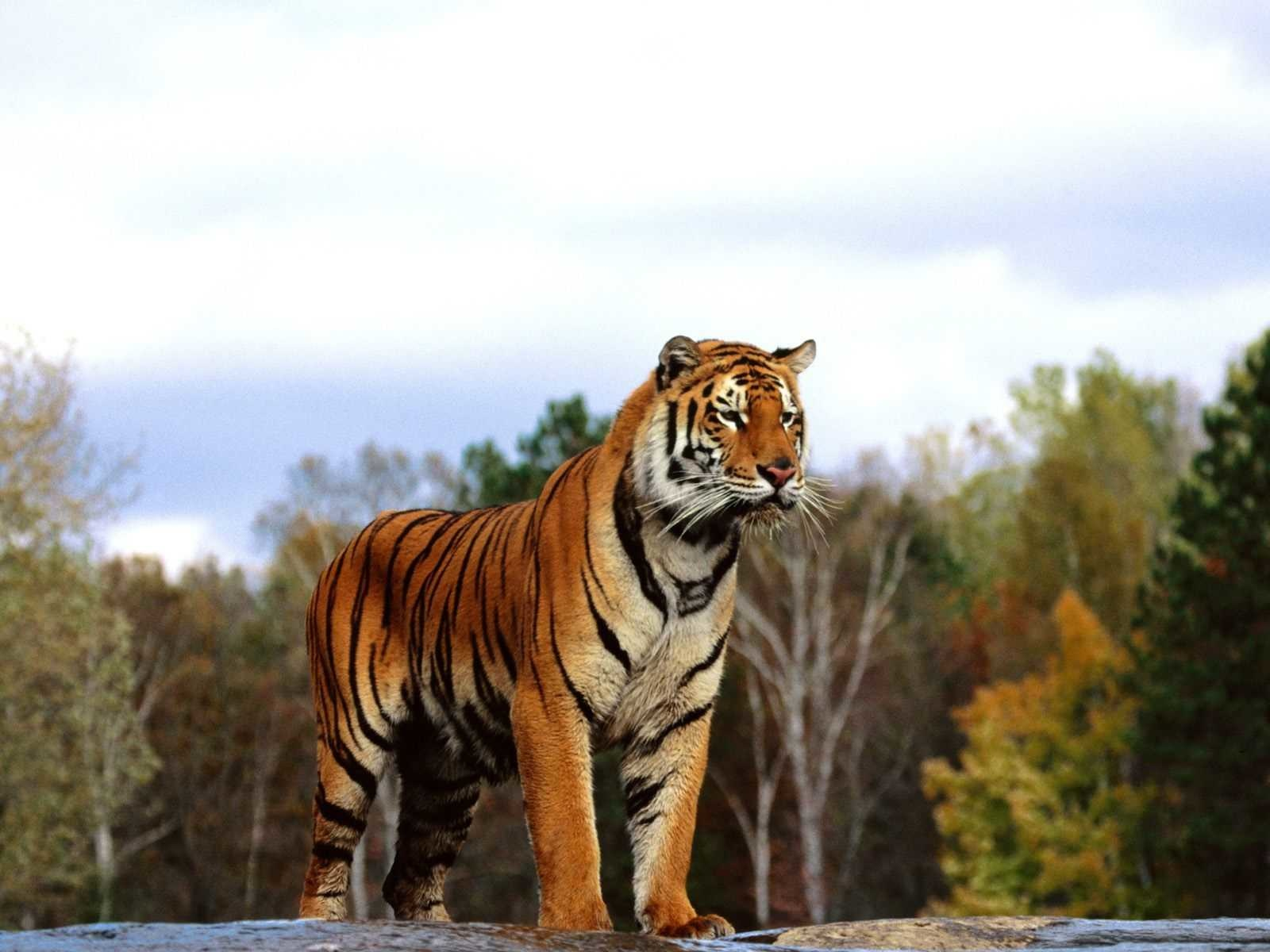 Download Wallpaper Bengal Tiger (1600x1200). The ...