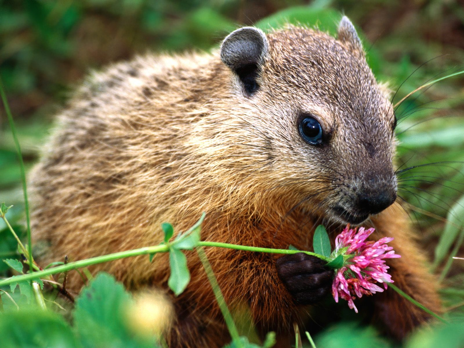 woodchucks Printable groundhog or woodchuck coloring book pages for children to print and color.