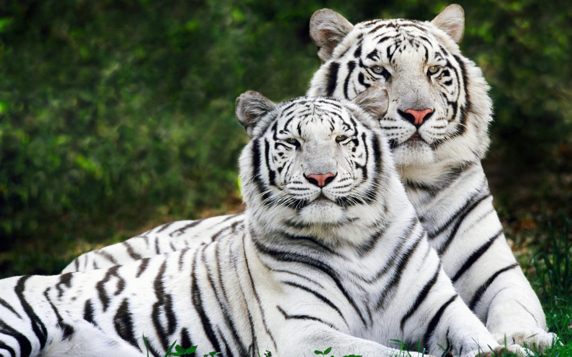 Tiger  National Geographic Kids