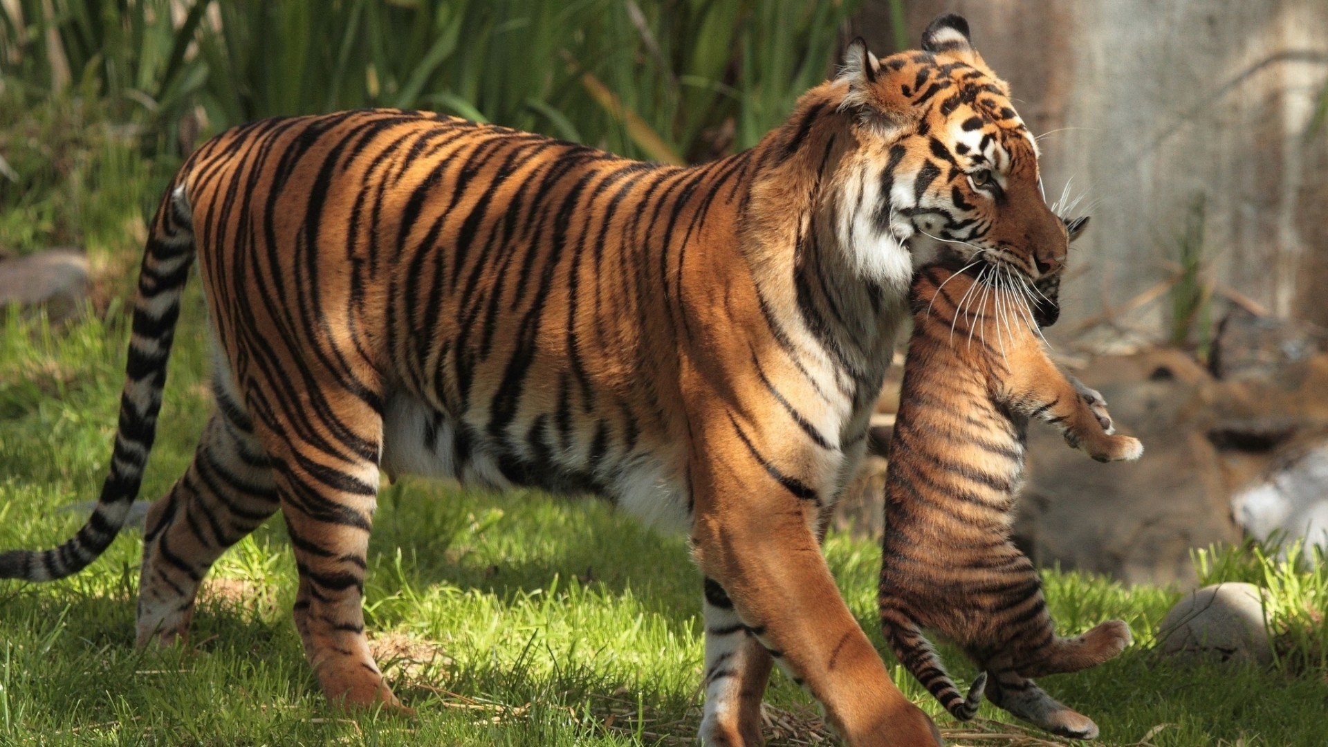 Magnetic Hill Zoo welcomes 4 Amur tiger cubs  CBC News