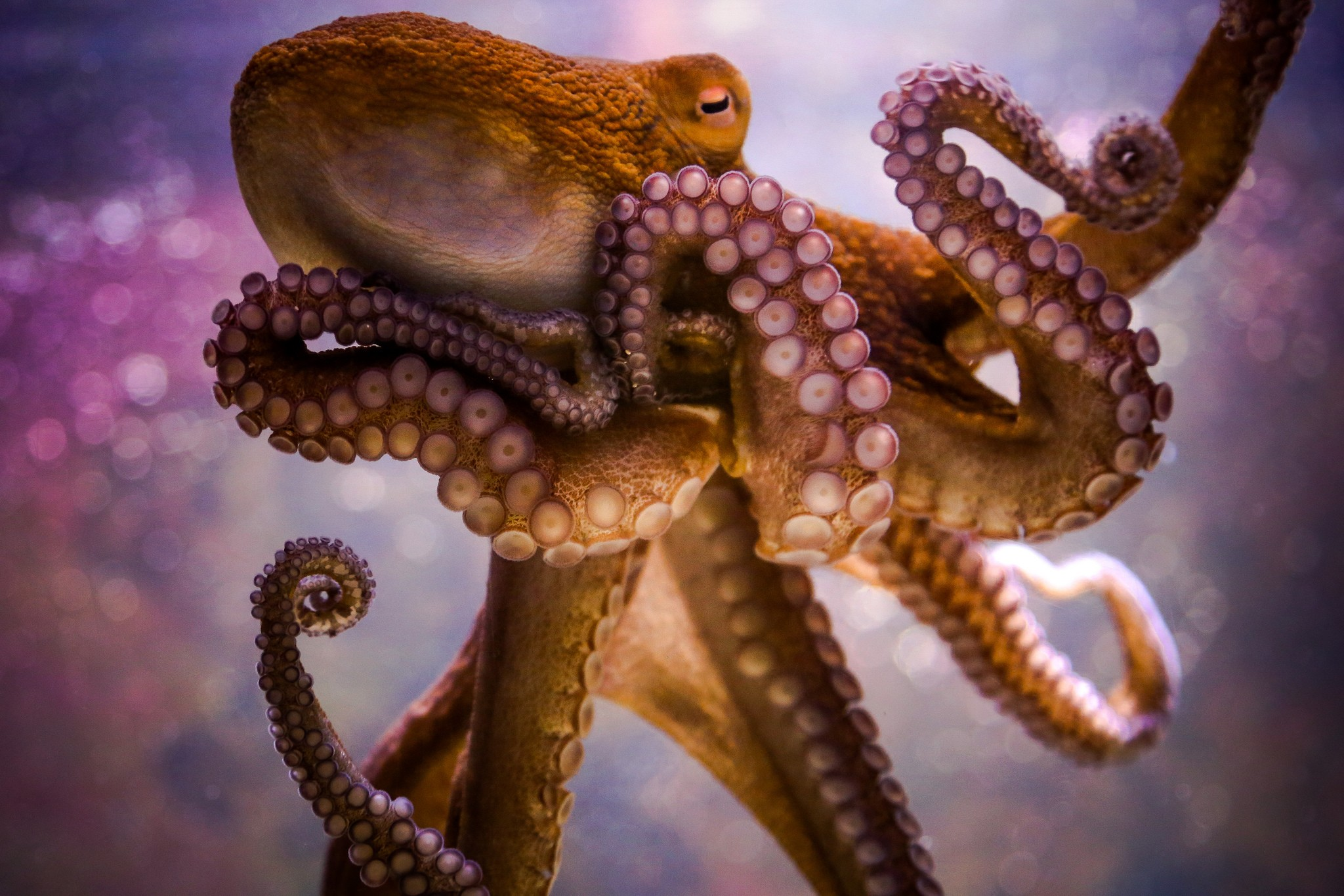 how the octopus close season affected The octopus does this by squirting jets of water from its bag-like body it draws water into its body cavity then forces it out from a tube under its head the force of the water squirting out pushes the octopus along, allowing it to swim backward through the ocean.